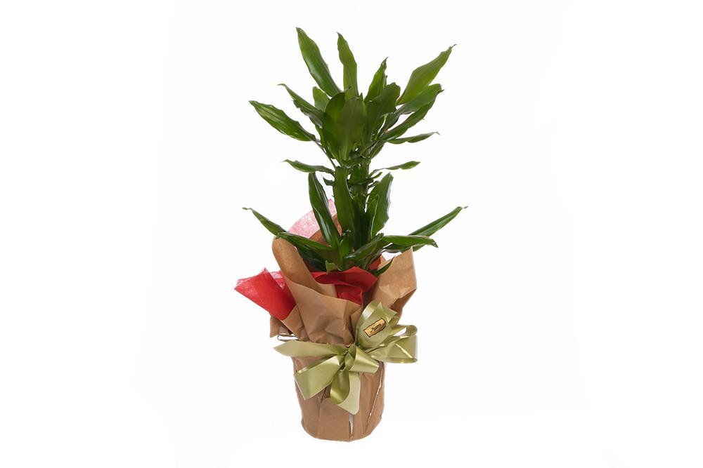Dracena planta verde muy resistente