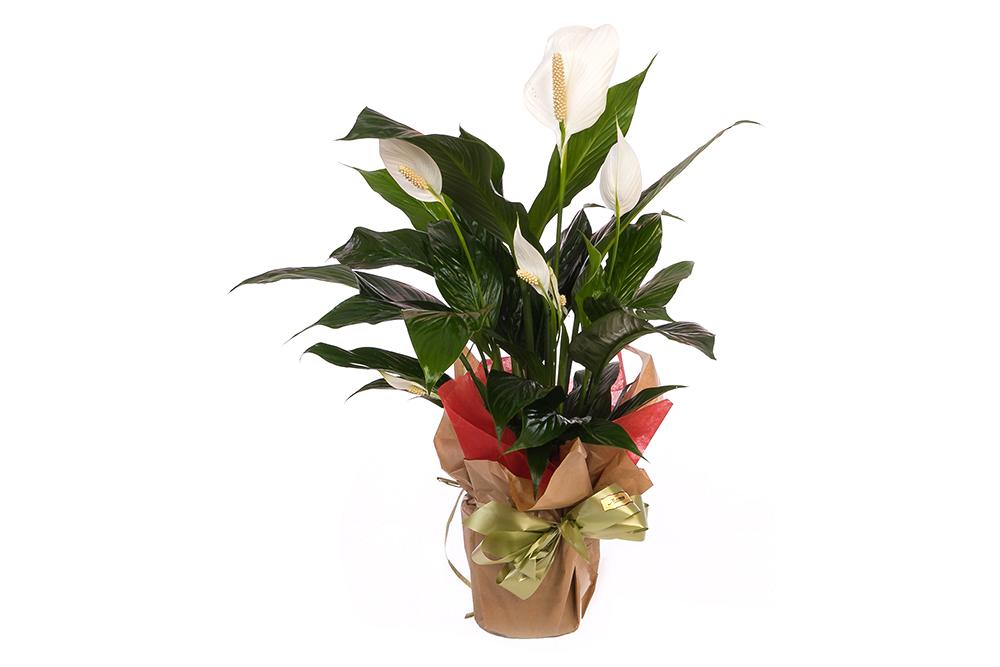 Spatifilium planta hojas verdes