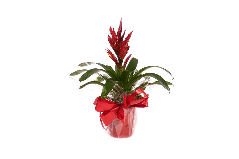 Guzmania planta verde en forma de espiga