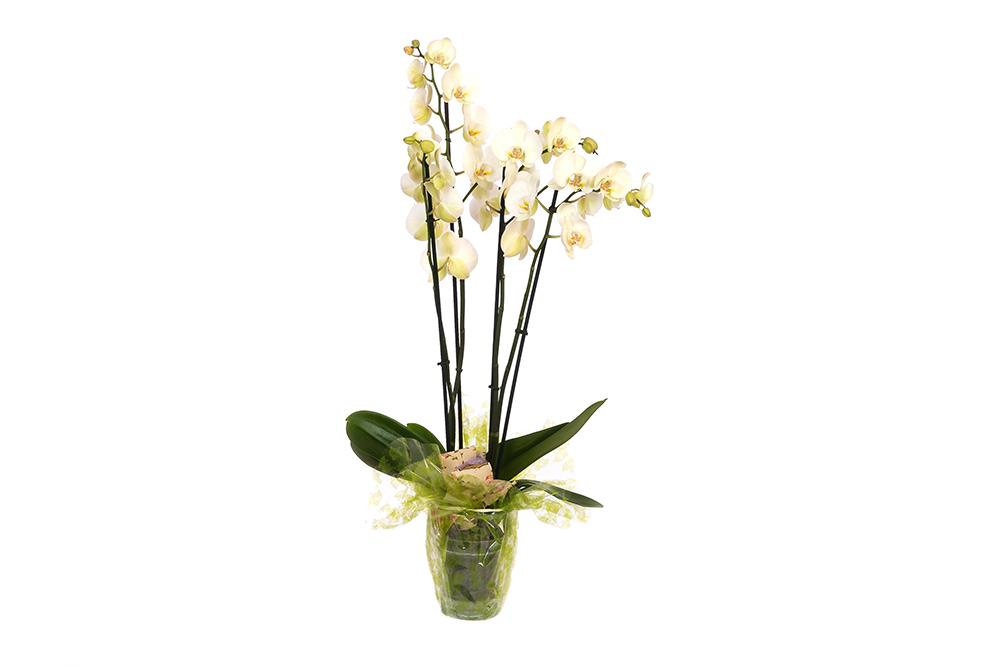 Orquídea planta elegante 70 cm